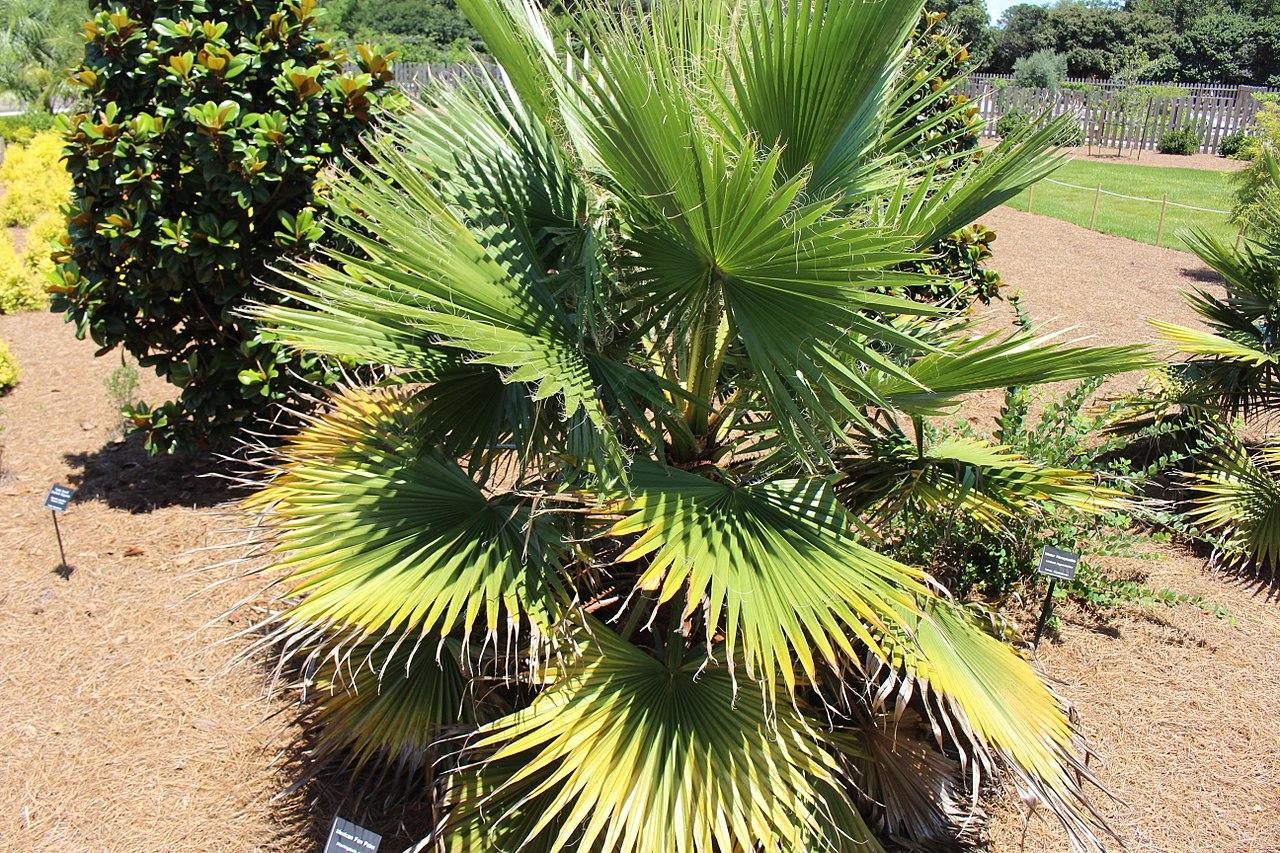 Las Washingtonia son palmeras que germinan rápido