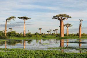 La Adansonia grandidieri es un árbol de crecimiento lento