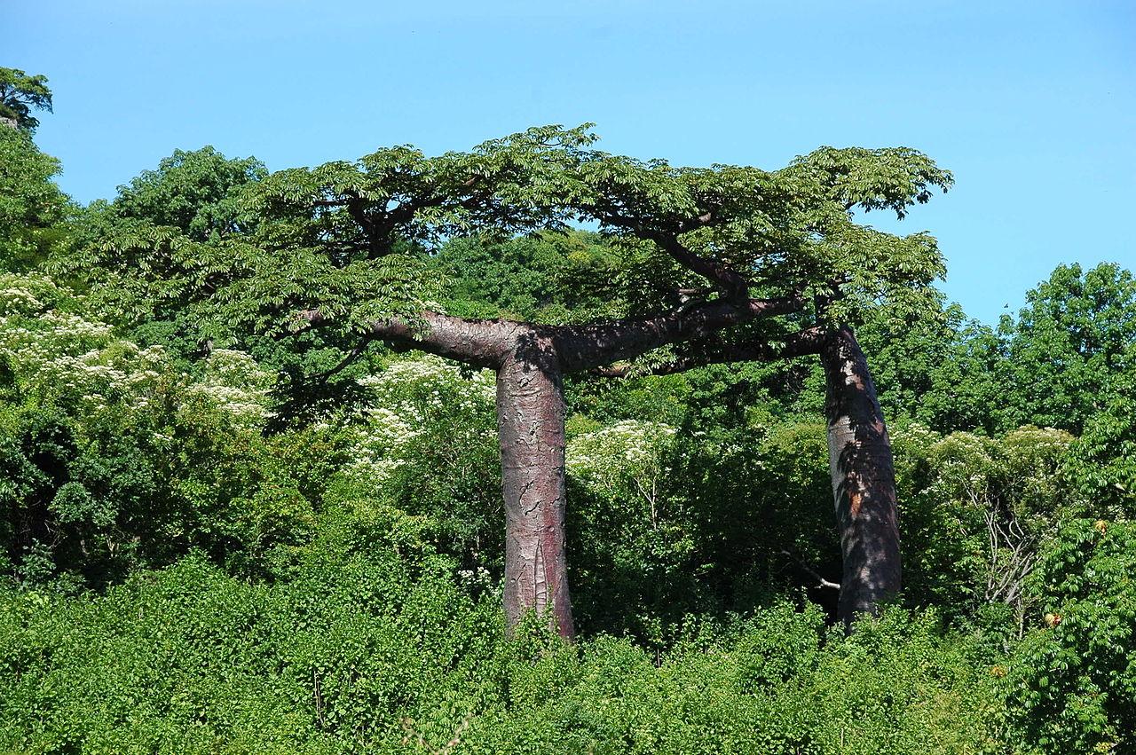 La Adansonia suarezensis es una planta de crecimiento lento