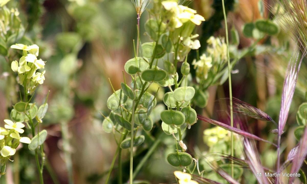 Biscutella auriculata hojas