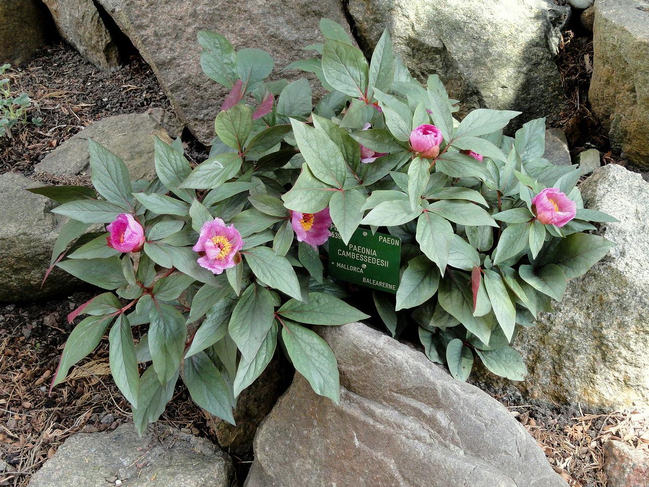 La Paeonia cambessedesii es una planta mediterránea