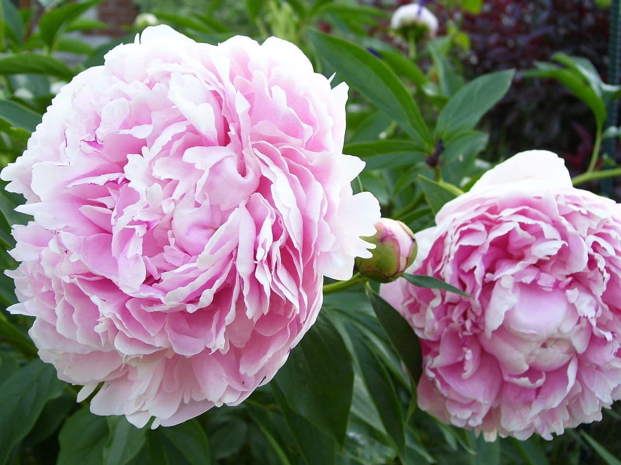 Las Paeonias lactiflora son preciosas