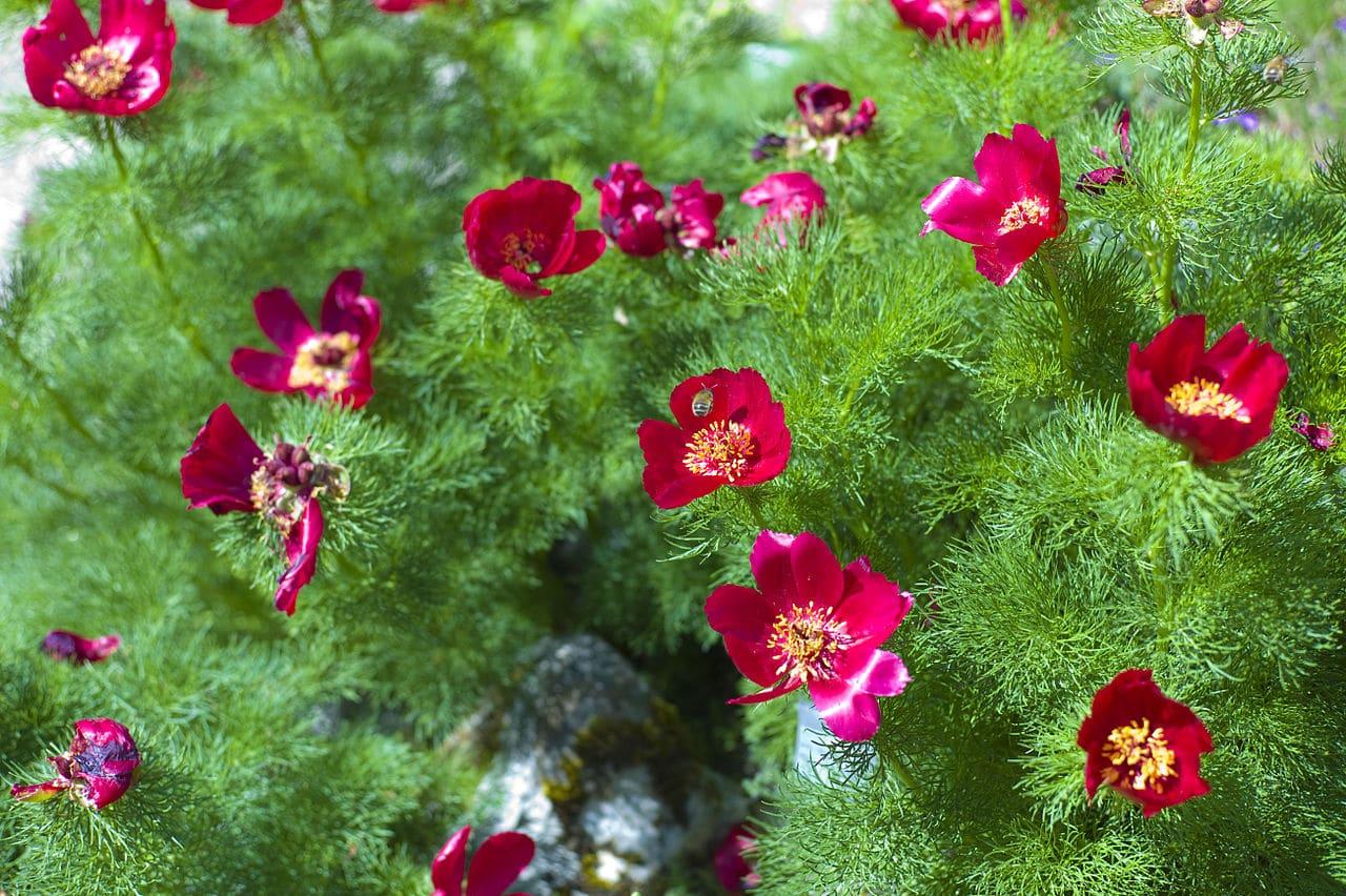 La Paeonia tenuifolia es una planta de flores rojas