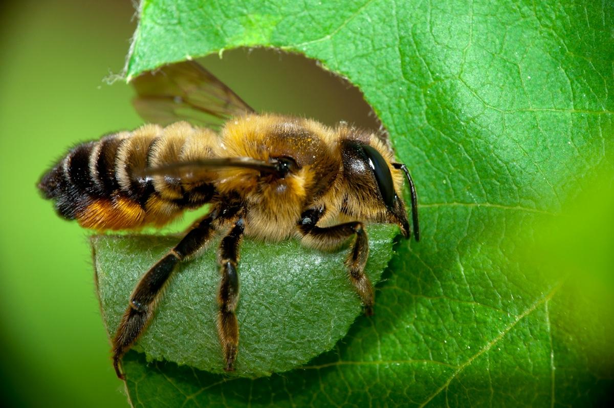 La abeja cortadora de hojas es un insecto inquilino del rosal
