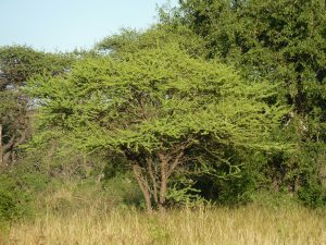 La Acacia tortilis es un árbol de la sabana africana