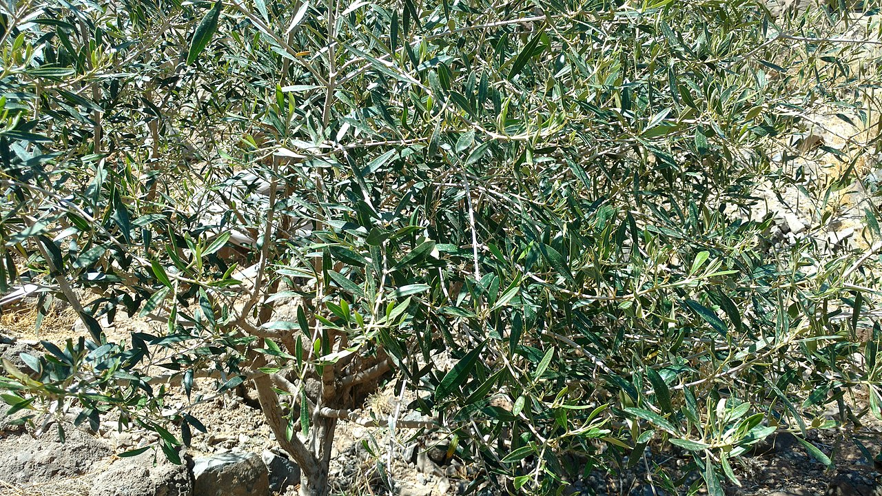 El acebuche canario es un árbol perennifolio