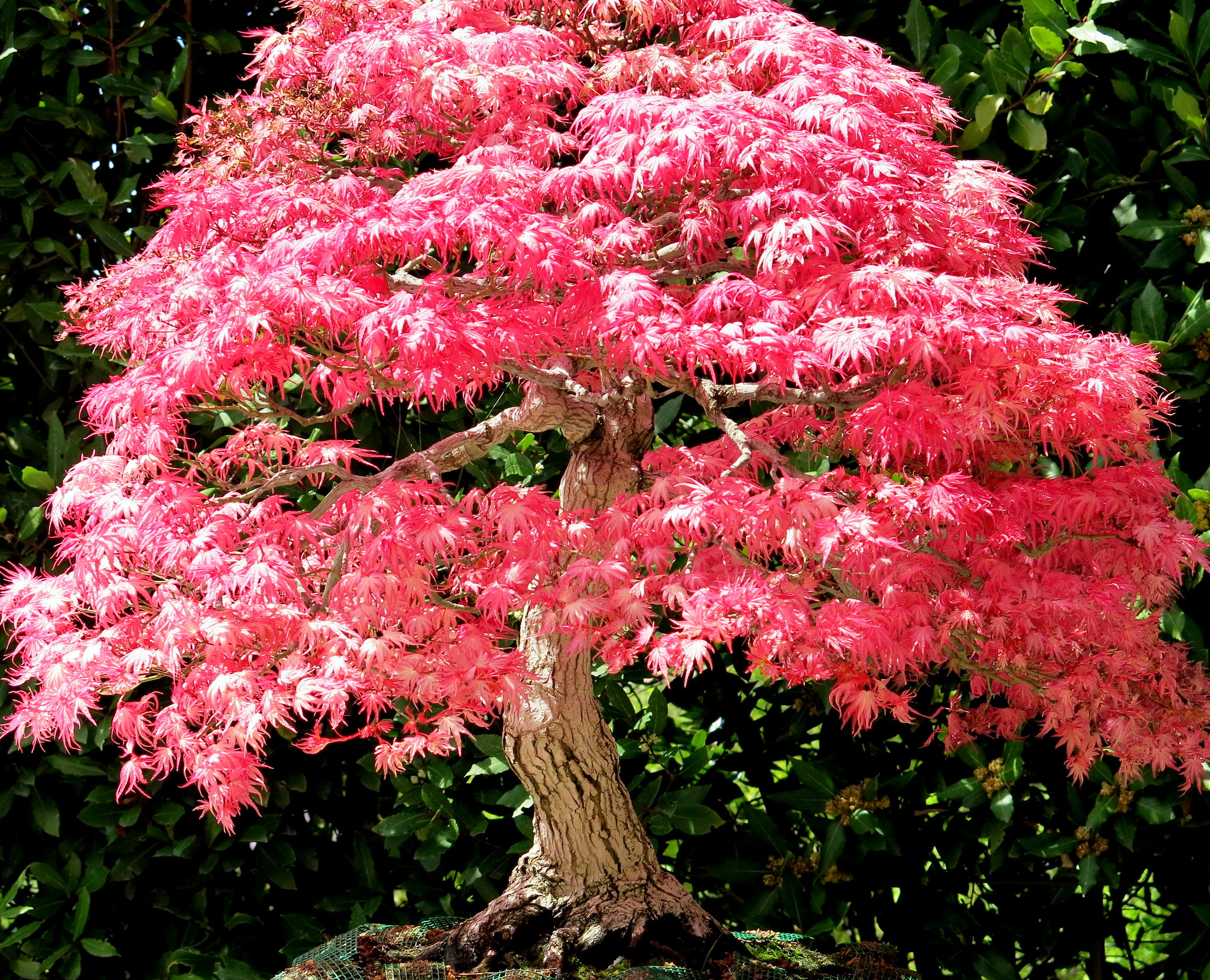 El bonsai de arce japones es fácil de cuidar