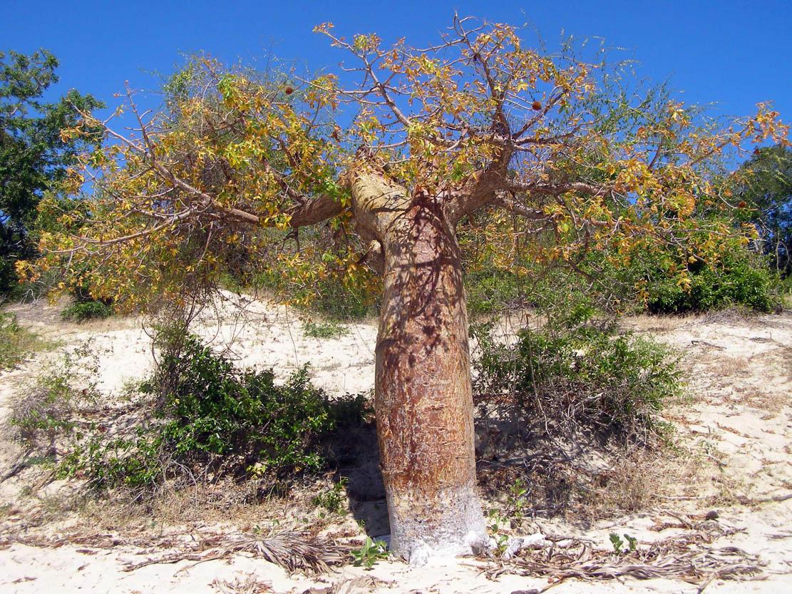 El Adansonia rubrostipa es un árbol con un tronco grueso pero corto