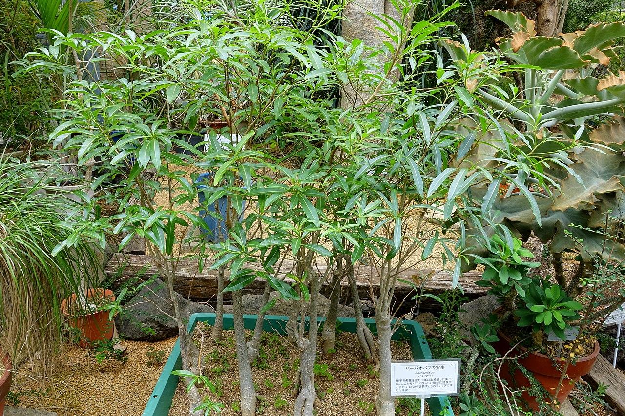 La Adansonia za es un árbol muy grande y bonito