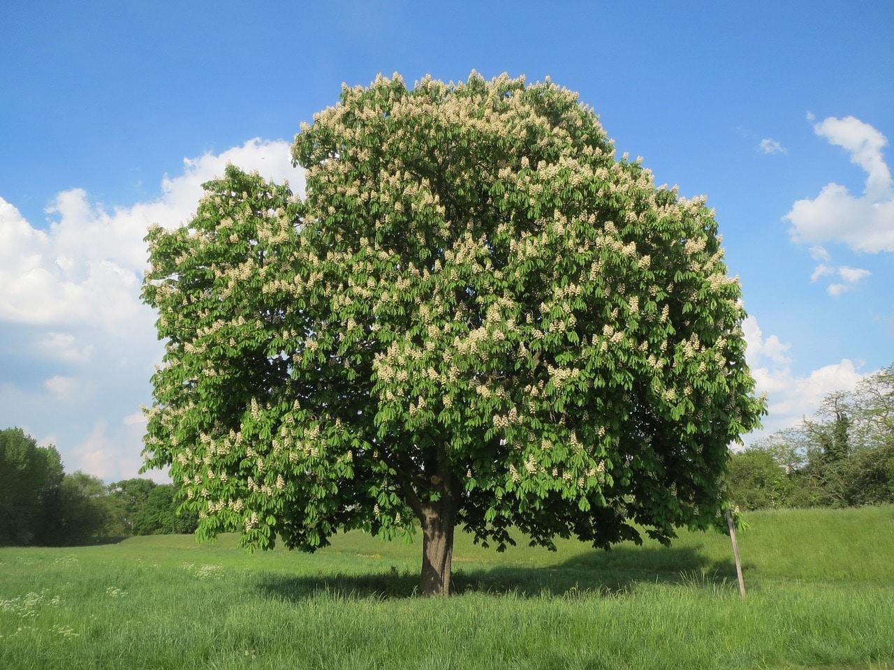 El Aesculus es un árbol frondoso