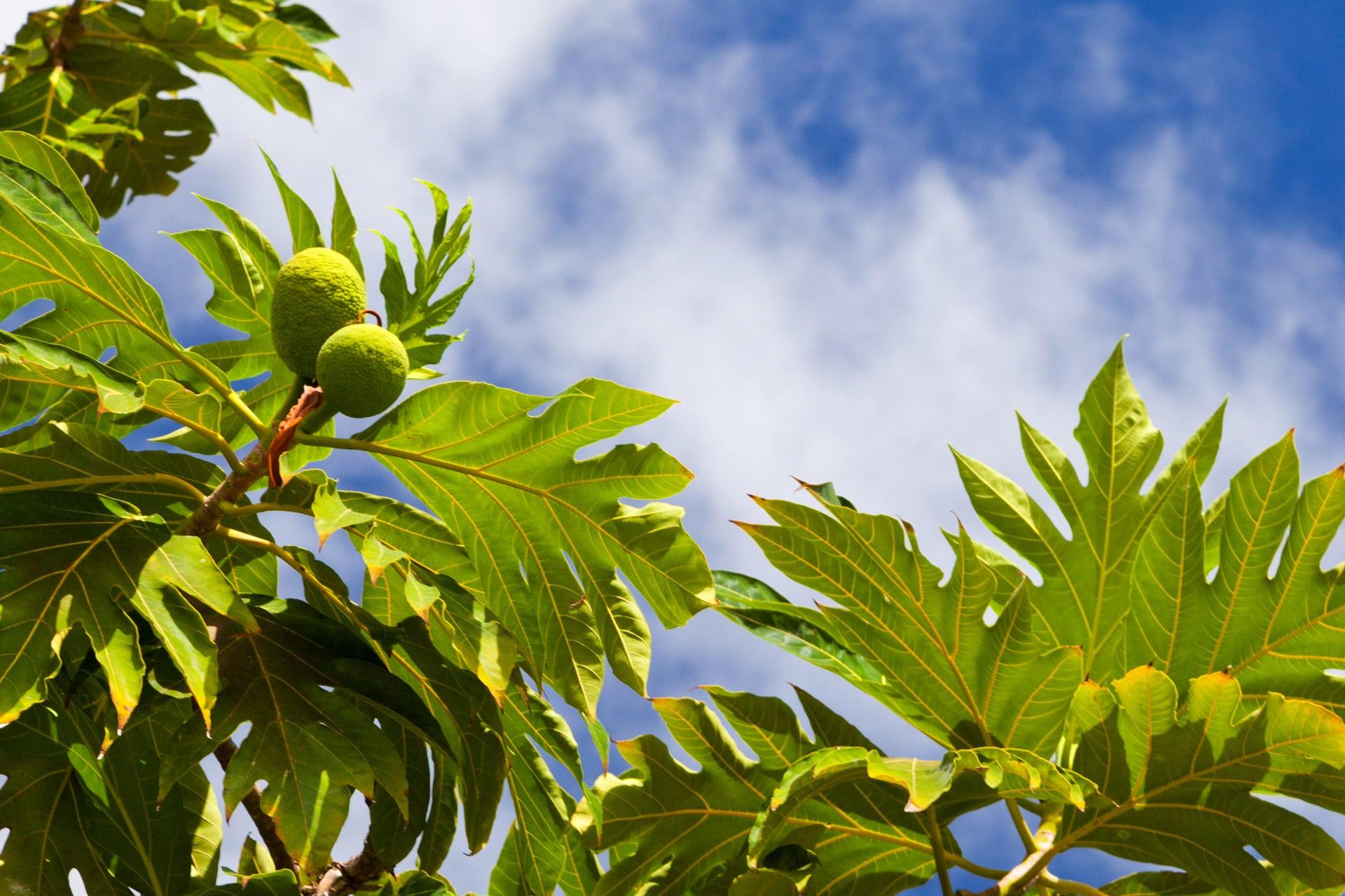 El árbol del pan es una planta que quiere mucha agua