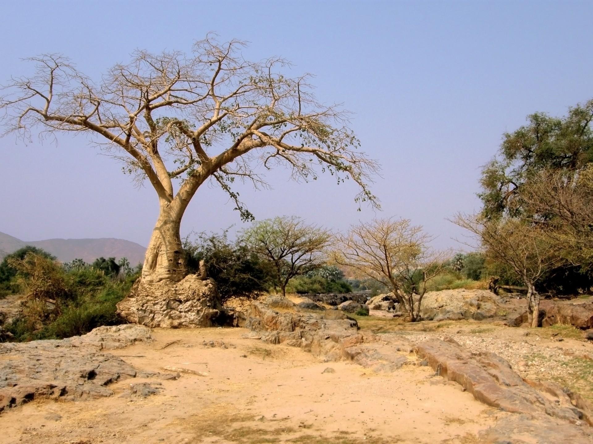 Los árboles de la sabana resisten bien la sequía