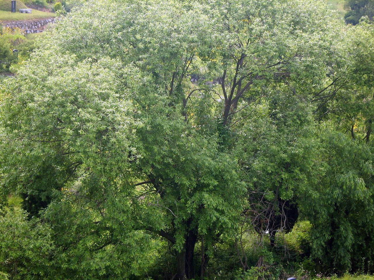 Los árboles de Salix quieren mucha agua