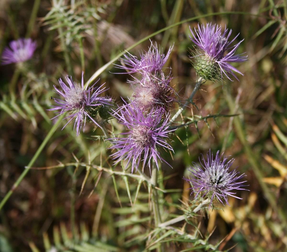 arbusto con flores de un color morado