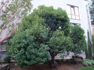 El madroño es un árbol pequeño frondoso
