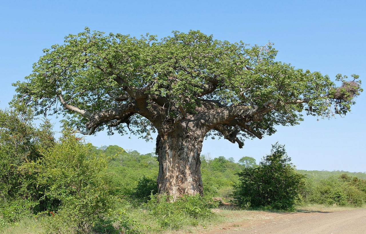 El baobab es un árbol de la sabana africana