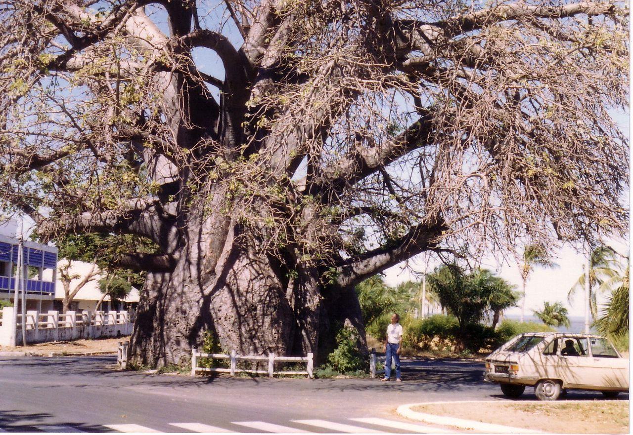 El baobab de Madagascar es un árbol con un tronco muy grueso
