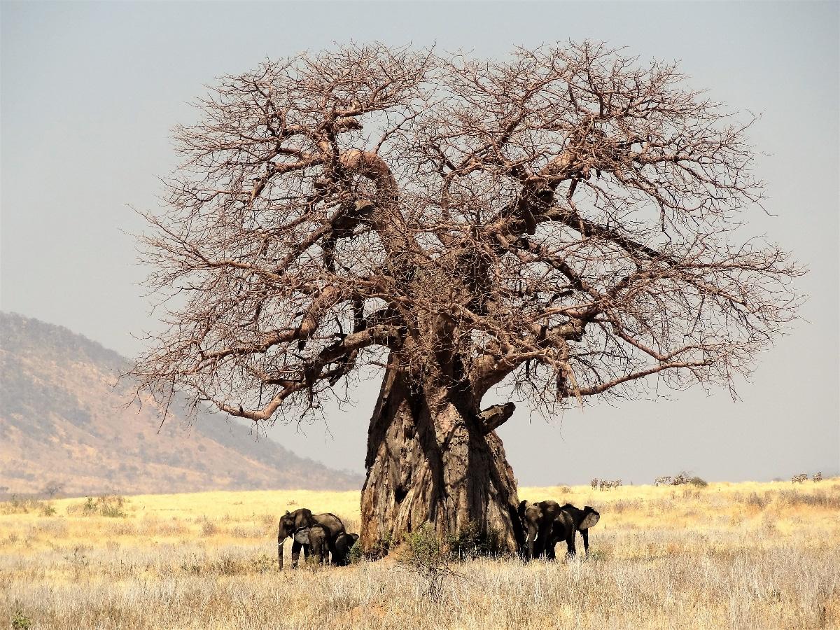 El baobab es un árbol de hoja caduca