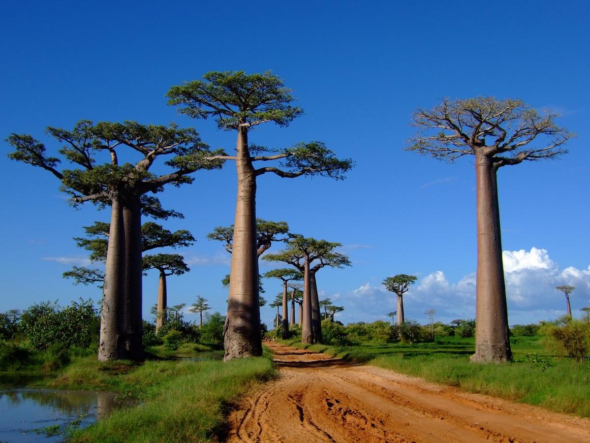 El baobab es un árbol de crecimiento lento