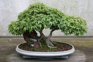 El bonsai de Acer palmatum es delicado