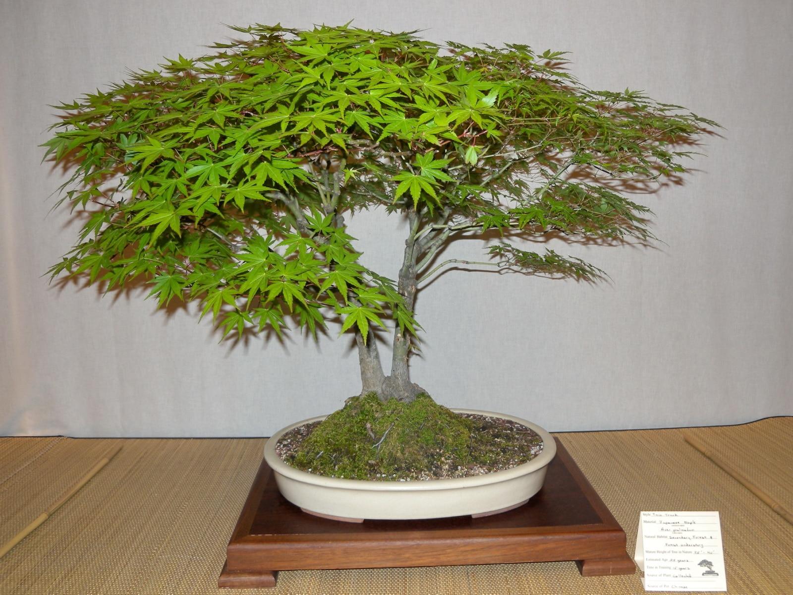 El arce japonés se trabaja como bonsai