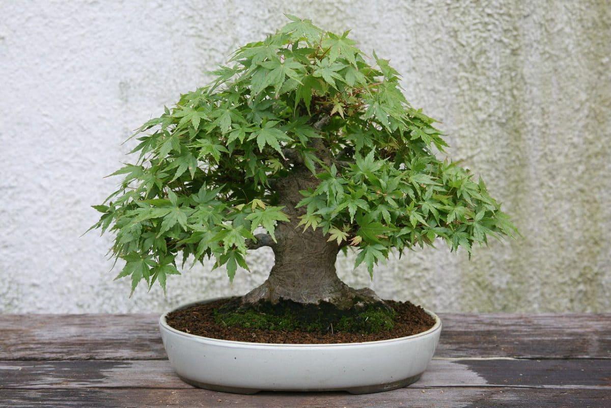 El bonsai de arce japonés se ha de podar en invierno