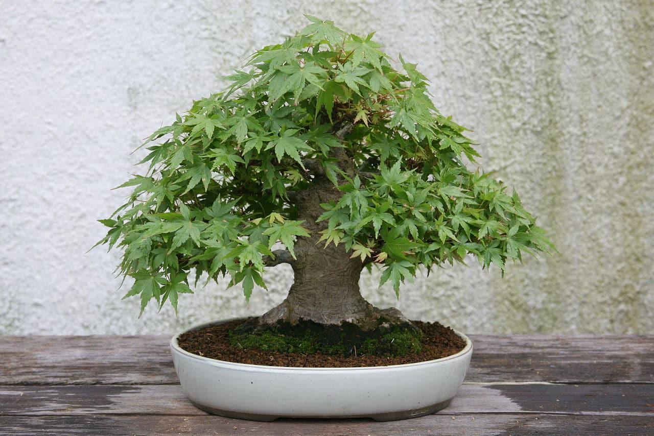 El bonsai de arce japonés tiene que estar en el exterior