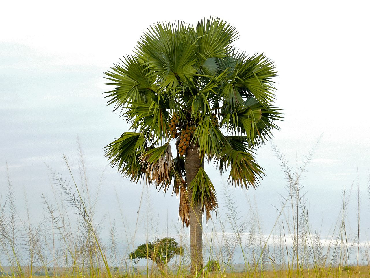 El Borassus aethiopum es una palmera gigante