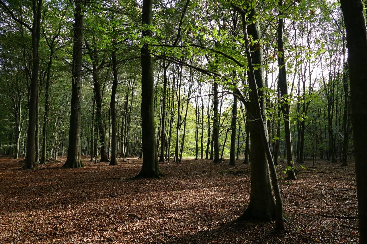 Los bosques de hoja caduca son comunes en la región templada del planeta