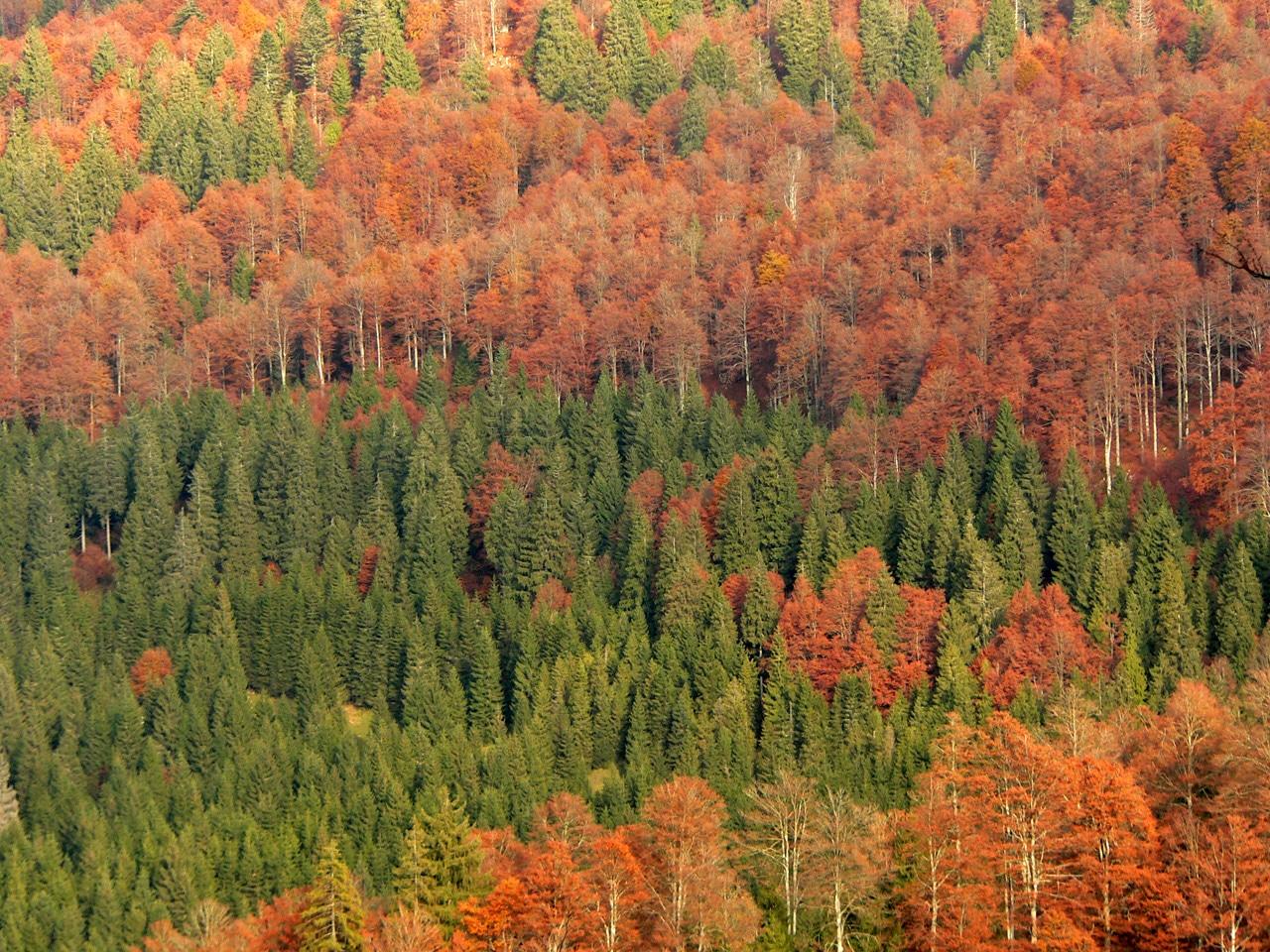 El bosque mixto está compuesto por árboles y coníferas