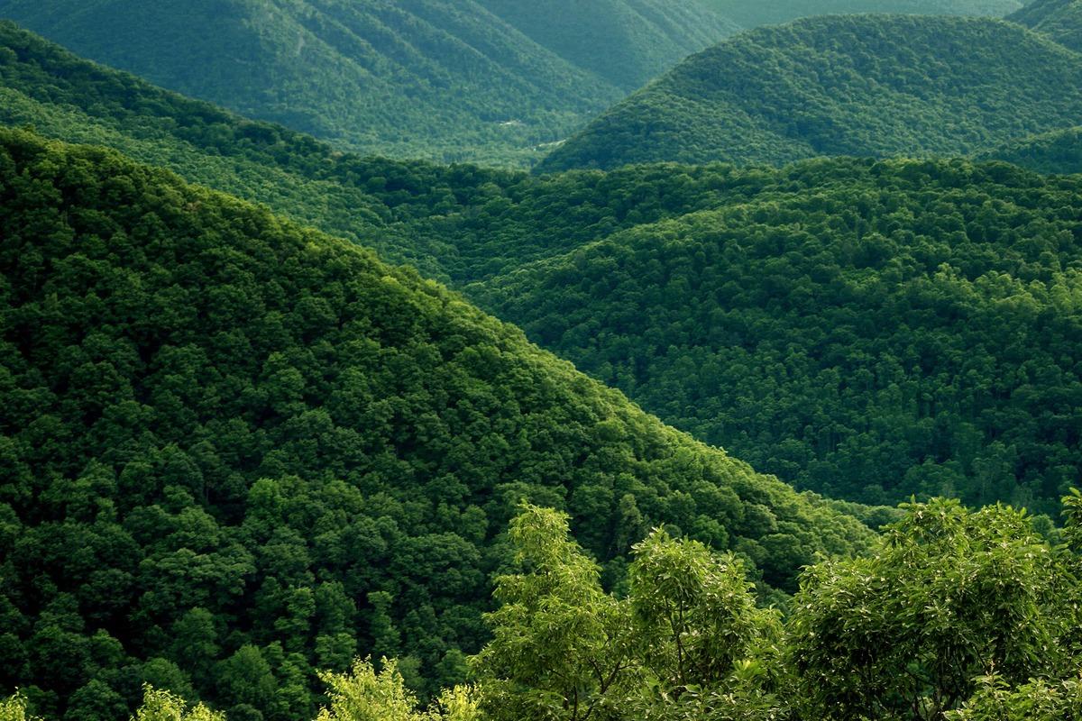 En el bosque de montaña abundan las coníferas