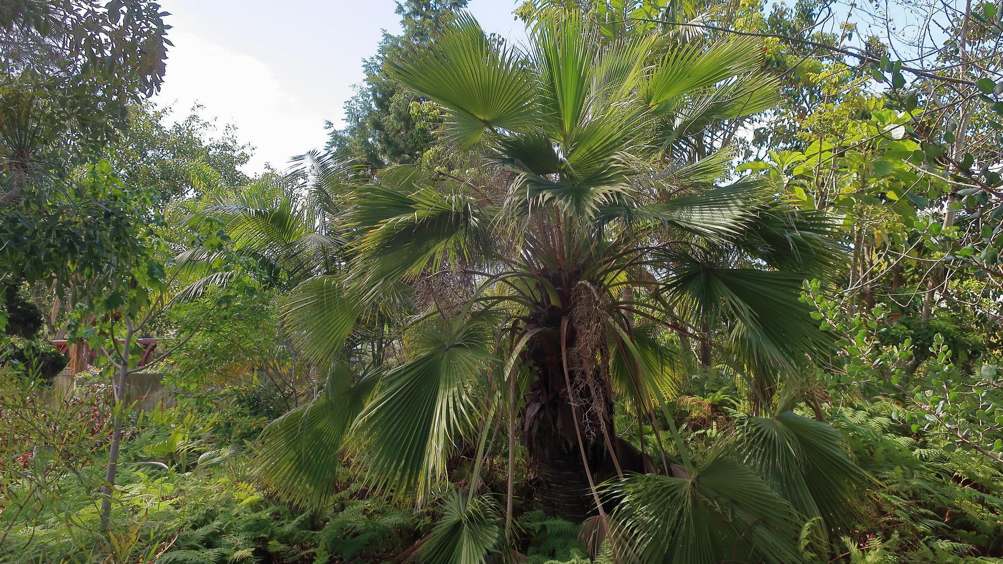 La Brahea edulis es una palmera grande