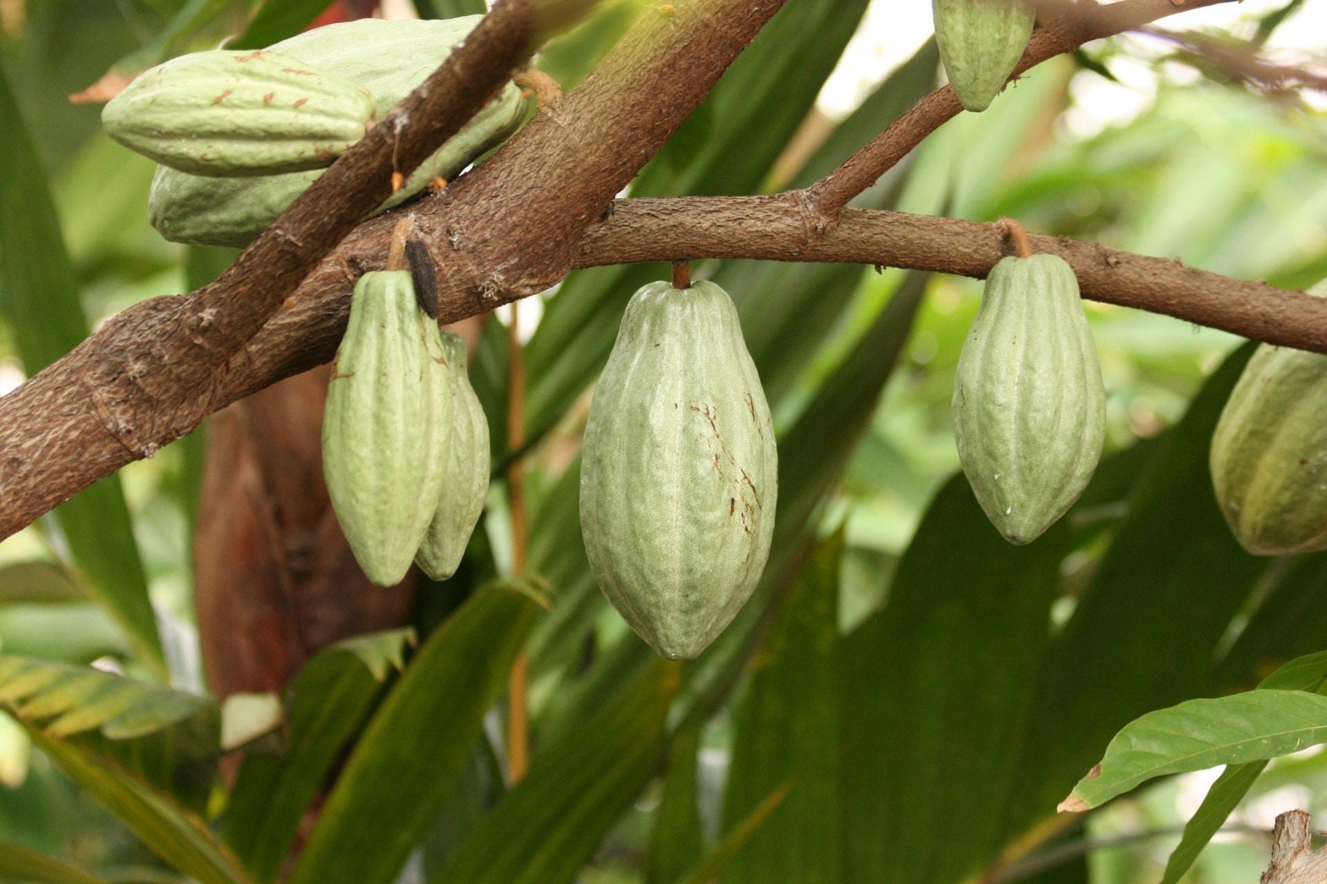 El cacao es un árbol tropical