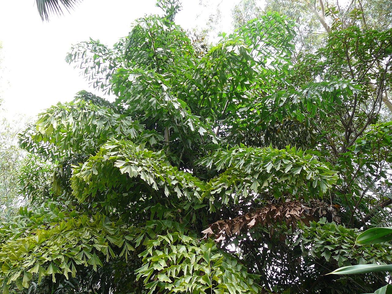 La Caryota urens es una palmera con hojas muy grandes