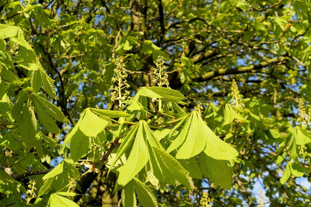 El castaño de Indias es un árbol que necesita mucha agua