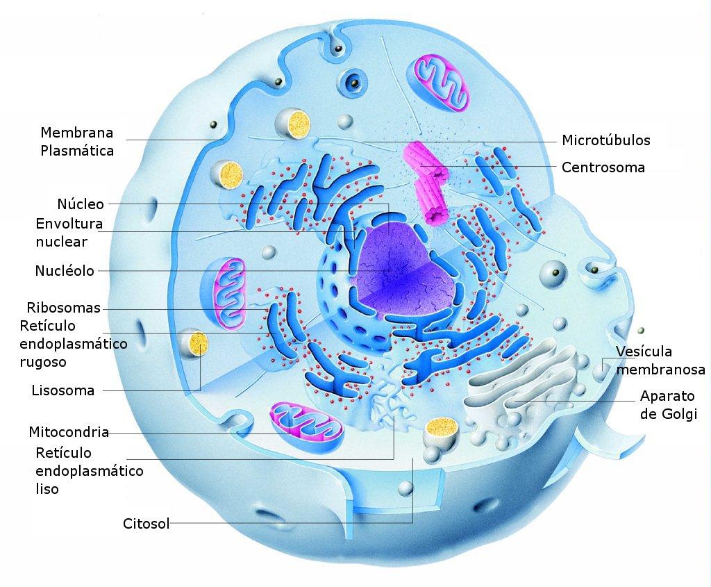 Estructura de una célula animal