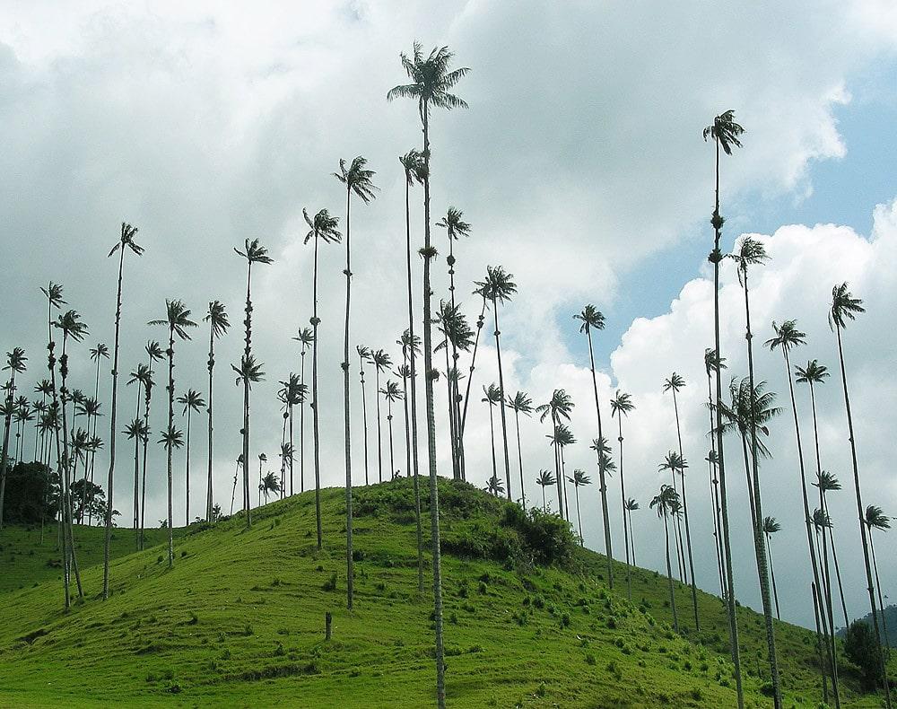 El Ceroxylon quindiuense es una palmera gigante
