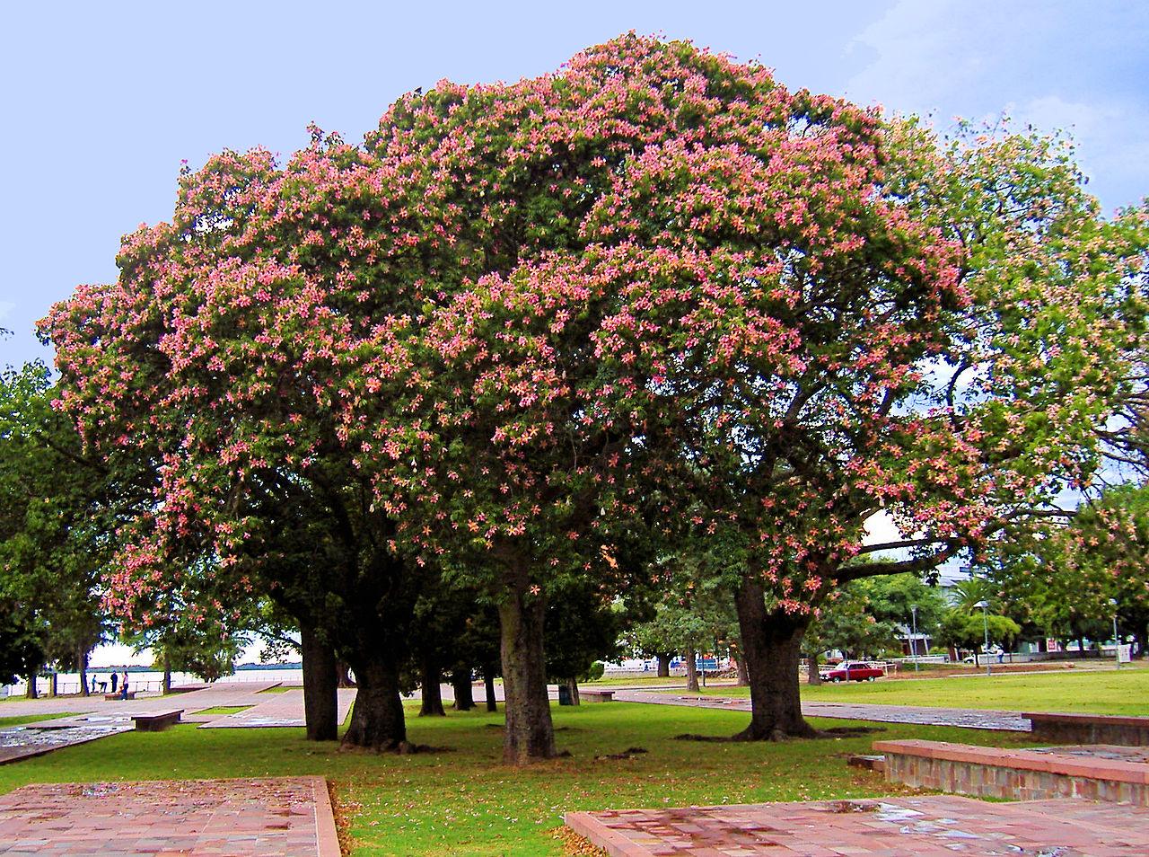 La chorisia es un árbol de flores precioso