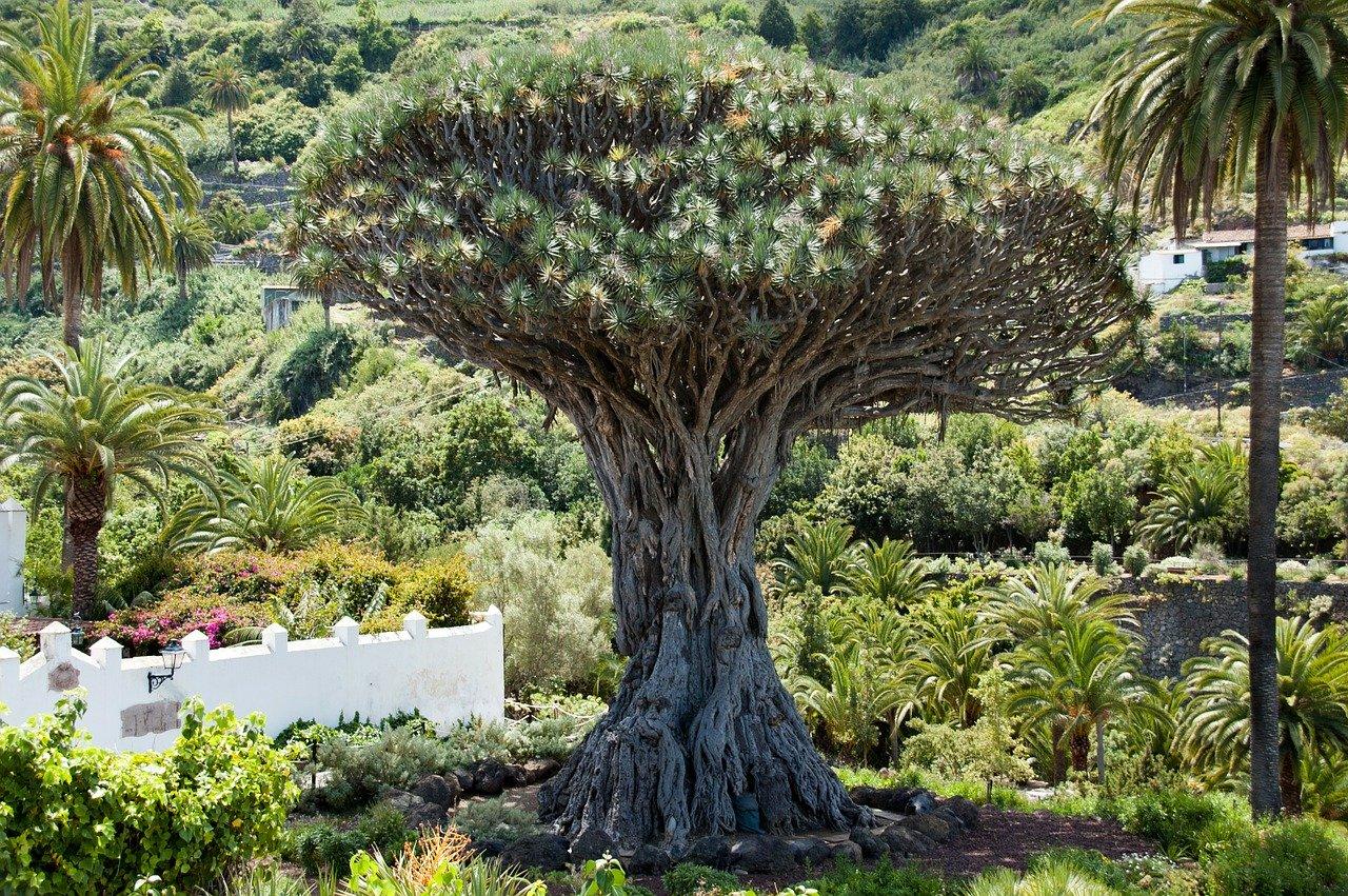 El drago es un árbol nativo de Canarias