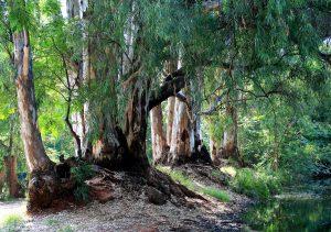 El eucalipto no deja crecer plantas cerca de él