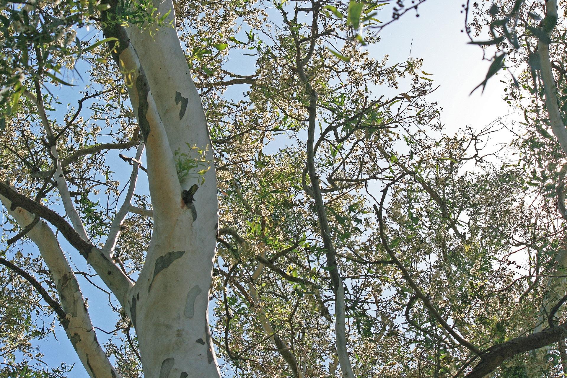 Los eucaliptos son árboles que impiden que otras plantas crezcan