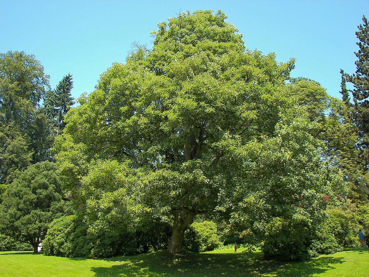 El falso plátano es un árbol caducifolio