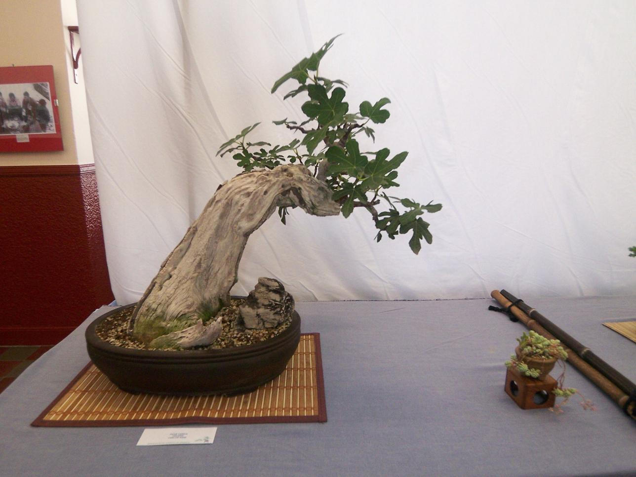 El bonsái de higuera es una planta no muy difícil de cuidar