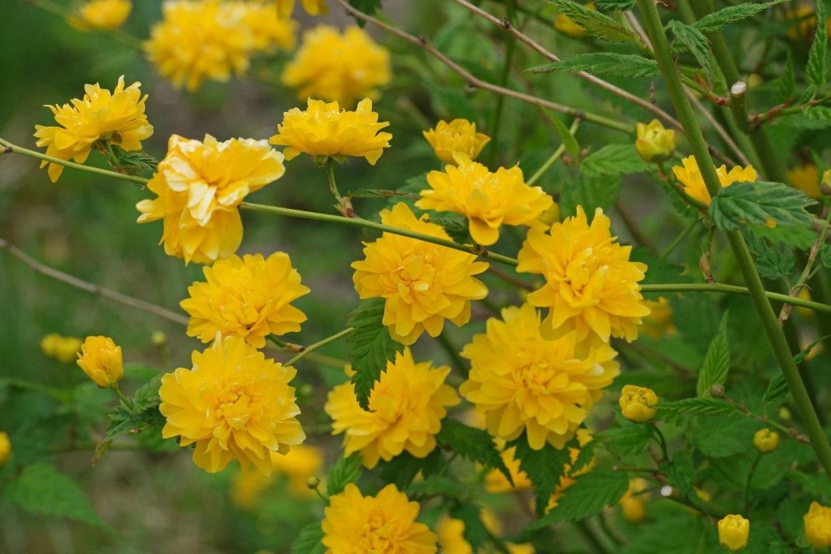 flores amarillas llamadas Kerria japónica