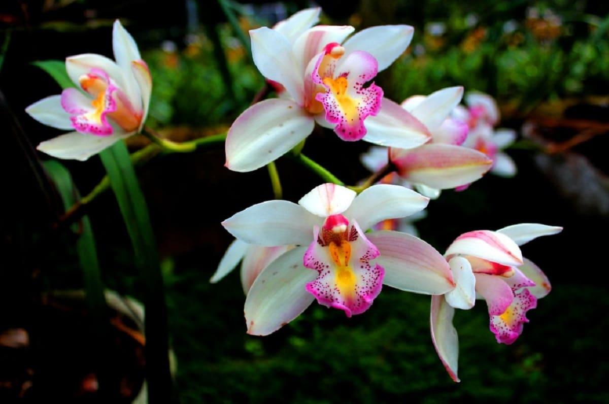 flores de una orquidea blanca que esta en maceta