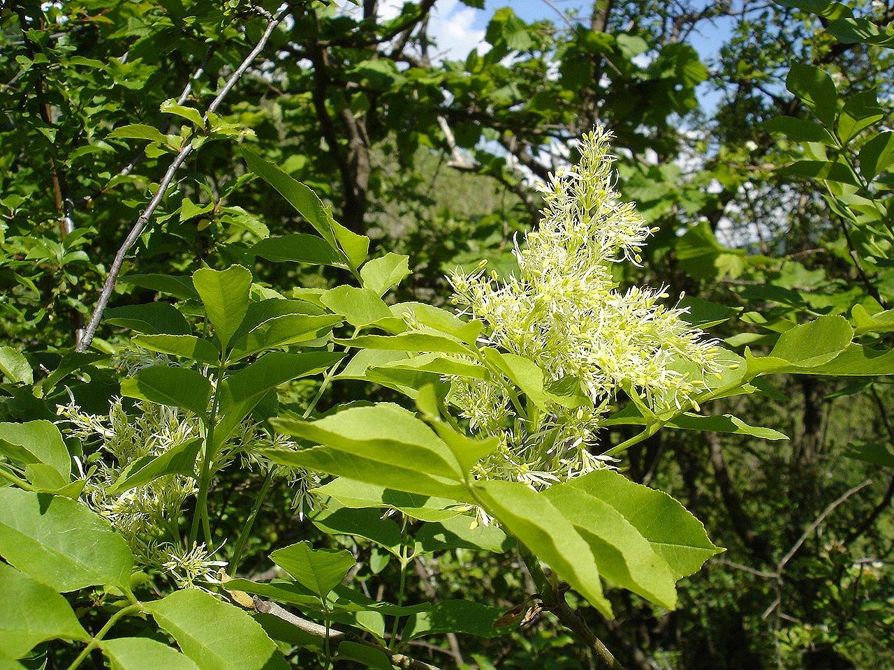 El fresno de flor es un árbol que quiere agua