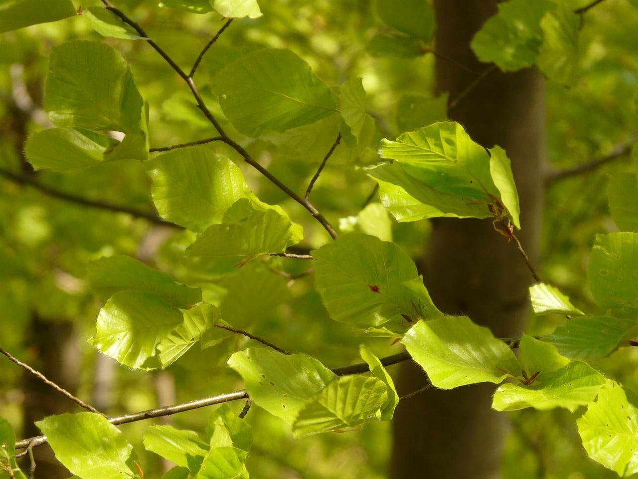 El haya es un árbol grande que necesita riegos frecuentes