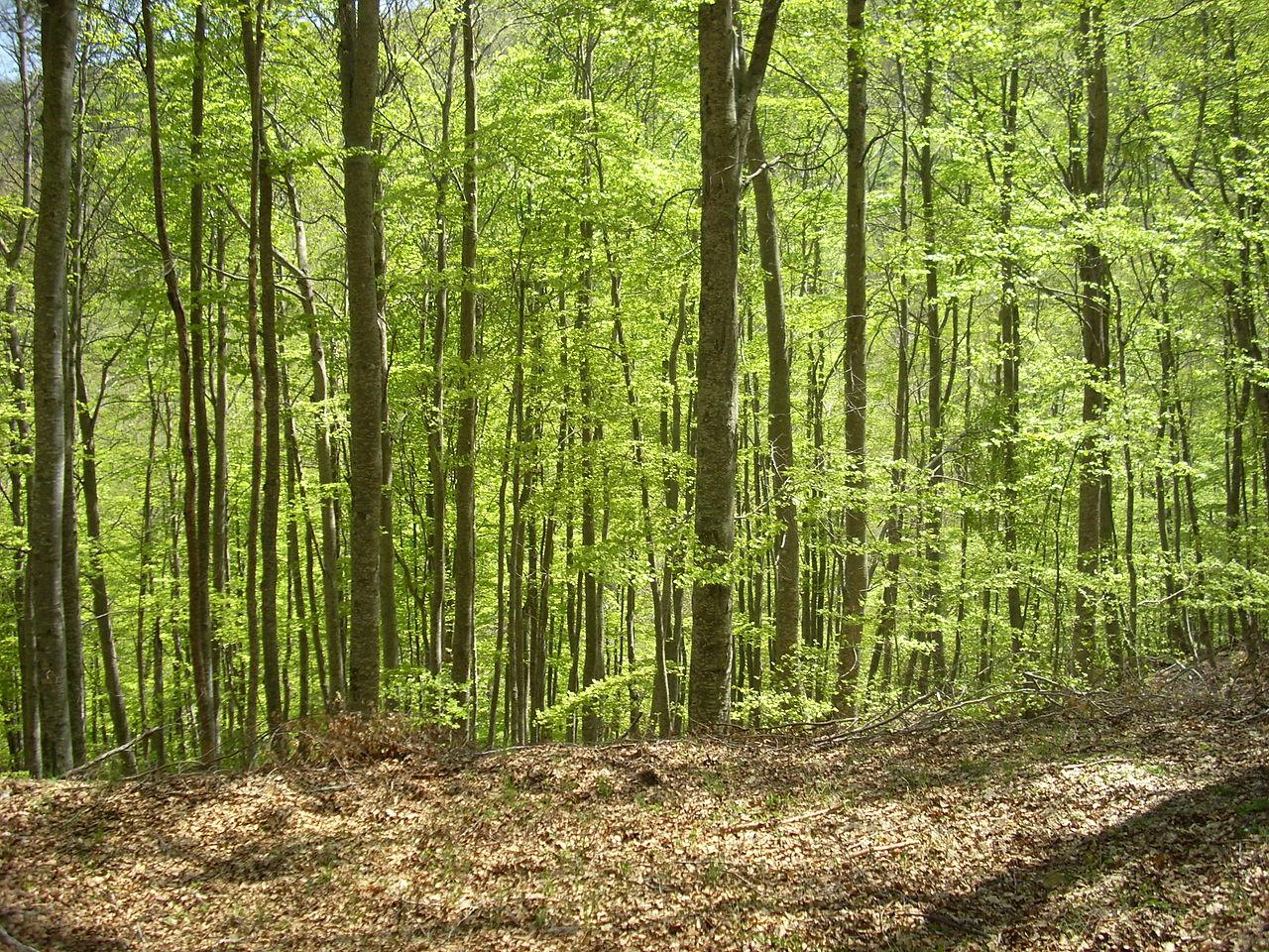 El hayedo es un bosque caducifolio
