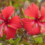 Los hibiscos son arbustos de flores grandes