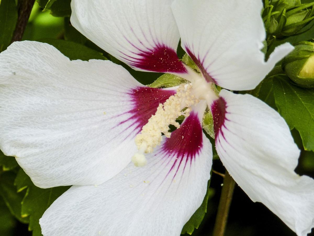 El Hibiscus moscheutos tiene flores grandes